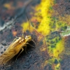 Geltonasis šiengraužis - Valenzuela flavidus  | Fotografijos autorius : Žygimantas Obelevičius | © Macrogamta.lt | Šis tinklapis priklauso bendruomenei kuri domisi makro fotografija ir fotografuoja gyvąjį makro pasaulį.