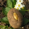 Valgomoji bulvė - Solanum tuberosum   Fotografijos autorius : Vytautas Tamutis   © Macrogamta.lt   Šis tinklapis priklauso bendruomenei kuri domisi makro fotografija ir fotografuoja gyvąjį makro pasaulį.