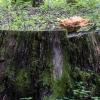 Valgomoji geltonpintė - Laetiporus sulphureus | Fotografijos autorius : Kazimieras Martinaitis | © Macrogamta.lt | Šis tinklapis priklauso bendruomenei kuri domisi makro fotografija ir fotografuoja gyvąjį makro pasaulį.
