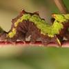 Vienkupris kuoduotis, vikšras - Notodonta dromedarius | Fotografijos autorius : Ramunė Vakarė | © Macrogamta.lt | Šis tinklapis priklauso bendruomenei kuri domisi makro fotografija ir fotografuoja gyvąjį makro pasaulį.