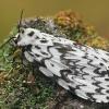 Vienuolis verpikas - Lymantria monacha ♀   Fotografijos autorius : Gintautas Steiblys   © Macrogamta.lt   Šis tinklapis priklauso bendruomenei kuri domisi makro fotografija ir fotografuoja gyvąjį makro pasaulį.