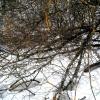 Virbinis gluosnis - Salix pentandra | Fotografijos autorius : Aleksandras Stabrauskas | © Macrogamta.lt | Šis tinklapis priklauso bendruomenei kuri domisi makro fotografija ir fotografuoja gyvąjį makro pasaulį.