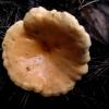 Voveraitinė guotelė - Hygrophoropsis aurantiaca   Fotografijos autorius : Aleksandras Stabrauskas   © Macrogamta.lt   Šis tinklapis priklauso bendruomenei kuri domisi makro fotografija ir fotografuoja gyvąjį makro pasaulį.