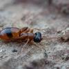 Vytis - Gelis melanocephalus ♀ | Fotografijos autorius : Žilvinas Pūtys | © Macrogamta.lt | Šis tinklapis priklauso bendruomenei kuri domisi makro fotografija ir fotografuoja gyvąjį makro pasaulį.