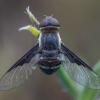 Zvimbeklė - Exhyalanthrax afer | Fotografijos autorius : Žilvinas Pūtys | © Macrogamta.lt | Šis tinklapis priklauso bendruomenei kuri domisi makro fotografija ir fotografuoja gyvąjį makro pasaulį.