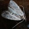 Mažasis žiemsprindis - Operophtera brumata | Fotografijos autorius : Ramunė Vakarė | © Macrogamta.lt | Šis tinklapis priklauso bendruomenei kuri domisi makro fotografija ir fotografuoja gyvąjį makro pasaulį.