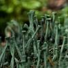 Skutuotoji šiurė - Cladonia fimbriata  | Fotografijos autorius : Irenėjas Urbonavičius | © Macrogamta.lt | Šis tinklapis priklauso bendruomenei kuri domisi makro fotografija ir fotografuoja gyvąjį makro pasaulį.
