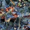 Rausvarudė stirnabudė - Paralepista flaccida  | Fotografijos autorius : Ramunė Vakarė | © Macrogamta.lt | Šis tinklapis priklauso bendruomenei kuri domisi makro fotografija ir fotografuoja gyvąjį makro pasaulį.