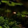 Ašutinis mažūnis - Gymnopus androsaceus | Fotografijos autorius : Irenėjas Urbonavičius | © Macrogamta.lt | Šis tinklapis priklauso bendruomenei kuri domisi makro fotografija ir fotografuoja gyvąjį makro pasaulį.