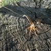 Vytis - Rhyssa persuasoria ♀; Reticularia lycoperdon | Fotografijos autorius : Aleksandras Stabrauskas | © Macrogamta.lt | Šis tinklapis priklauso bendruomenei kuri domisi makro fotografija ir fotografuoja gyvąjį makro pasaulį.
