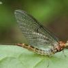 Lašalas - Ephemeroptera | Fotografijos autorius : Algirdas Vilkas | © Macrogamta.lt | Šis tinklapis priklauso bendruomenei kuri domisi makro fotografija ir fotografuoja gyvąjį makro pasaulį.