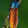 Siaurablizgis - Agrilus subauratus ??? | Fotografijos autorius : Lukas Jonaitis | © Macrogamta.lt | Šis tinklapis priklauso bendruomenei kuri domisi makro fotografija ir fotografuoja gyvąjį makro pasaulį.