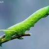Akiuotasis sfinksas - Smerinthus ocellata (Vikšras)  | Fotografijos autorius : Lukas Jonaitis | © Macrogamta.lt | Šis tinklapis priklauso bendruomenei kuri domisi makro fotografija ir fotografuoja gyvąjį makro pasaulį.