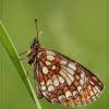 Melitaea athalia - Paprastoji šaškytė | Fotografijos autorius : Aivaras Banevičius | © Macrogamta.lt | Šis tinklapis priklauso bendruomenei kuri domisi makro fotografija ir fotografuoja gyvąjį makro pasaulį.