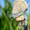 Polyommatus icarus - Dirvinis melsvys | Fotografijos autorius : Aivaras Banevičius | © Macrogamta.lt | Šis tinklapis priklauso bendruomenei kuri domisi makro fotografija ir fotografuoja gyvąjį makro pasaulį.