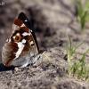 Apatura iris - Kilnioji vaiva | Fotografijos autorius : Valdimantas Grigonis | © Macrogamta.lt | Šis tinklapis priklauso bendruomenei kuri domisi makro fotografija ir fotografuoja gyvąjį makro pasaulį.
