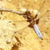 Plokščioji skėtė - Libellula depressa | Fotografijos autorius : Linas Mockus | © Macrogamta.lt | Šis tinklapis priklauso bendruomenei kuri domisi makro fotografija ir fotografuoja gyvąjį makro pasaulį.