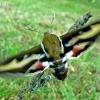 Lipikinis sfinksas - Hyles galii | Fotografijos autorius : Linas Mockus | © Macrogamta.lt | Šis tinklapis priklauso bendruomenei kuri domisi makro fotografija ir fotografuoja gyvąjį makro pasaulį.