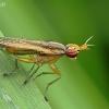 Sraigžudė - Limnia unguicornis   Fotografijos autorius : Armandas Kazlauskas   © Macrogamta.lt   Šis tinklapis priklauso bendruomenei kuri domisi makro fotografija ir fotografuoja gyvąjį makro pasaulį.