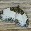 Gervuoginė cidarija - Mesoleuca albicillata   Fotografijos autorius : Armandas Kazlauskas   © Macrogamta.lt   Šis tinklapis priklauso bendruomenei kuri domisi makro fotografija ir fotografuoja gyvąjį makro pasaulį.