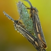 Brūkšniuotoji meškutė - Spiris striata   Fotografijos autorius : Aivaras Markauskas   © Macrogamta.lt   Šis tinklapis priklauso bendruomenei kuri domisi makro fotografija ir fotografuoja gyvąjį makro pasaulį.