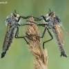 Plėšriamusės - Eutolmus rufibarbis | Fotografijos autorius : Aivaras Markauskas | © Macrogamta.lt | Šis tinklapis priklauso bendruomenei kuri domisi makro fotografija ir fotografuoja gyvąjį makro pasaulį.