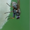 Tigrinė cenozija - Coenosia tigrina | Fotografijos autorius : Aleksandras Riabčikovas | © Macrogamta.lt | Šis tinklapis priklauso bendruomenei kuri domisi makro fotografija ir fotografuoja gyvąjį makro pasaulį.