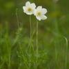 Lieknoji plukė - Anemonoides sylvestris   Fotografijos autorius : Žilvinas Pūtys   © Macrogamta.lt   Šis tinklapis priklauso bendruomenei kuri domisi makro fotografija ir fotografuoja gyvąjį makro pasaulį.