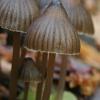 Aitriakvapė šalmabudė - Mycena leptocephala ? | Fotografijos autorius : Gintautas Steiblys | © Macrogamta.lt | Šis tinklapis priklauso bendruomenei kuri domisi makro fotografija ir fotografuoja gyvąjį makro pasaulį.