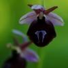 Ofris - Ophrys ferrum-equinum   Fotografijos autorius : Nomeda Vėlavičienė   © Macrogamta.lt   Šis tinklapis priklauso bendruomenei kuri domisi makro fotografija ir fotografuoja gyvąjį makro pasaulį.